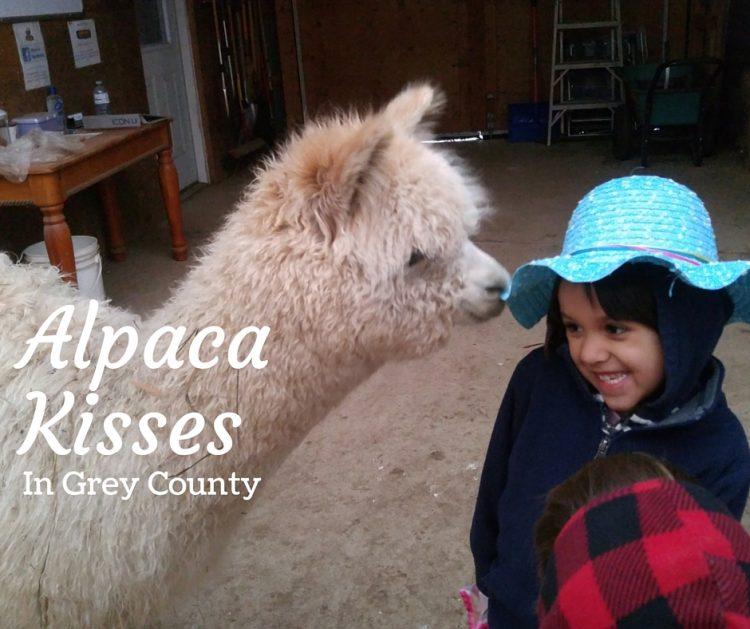 alpaca with kids, ontario alpacs
