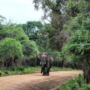 Following the Elephants in Sri Lanka