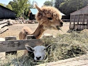 alpacas ontario