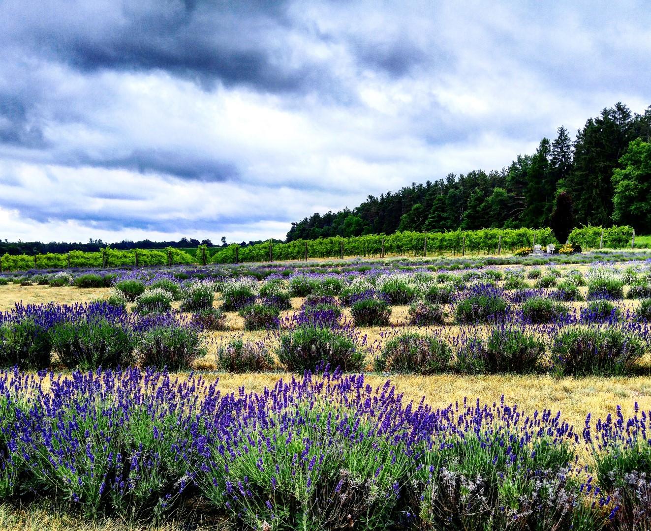 Bonnie Heath Lavender farm Ontario