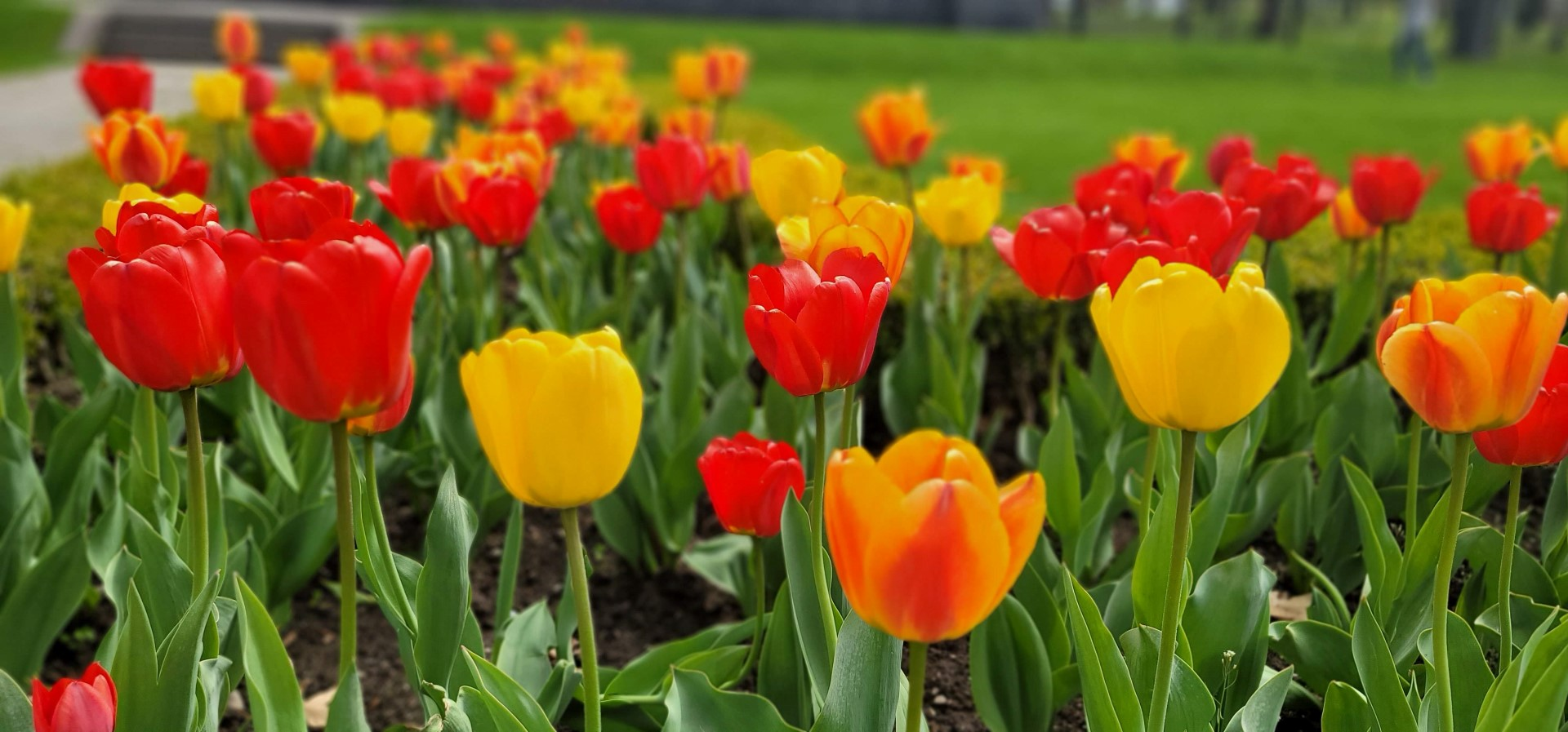 Tulips at Queenston Heights Niagara on the Lake