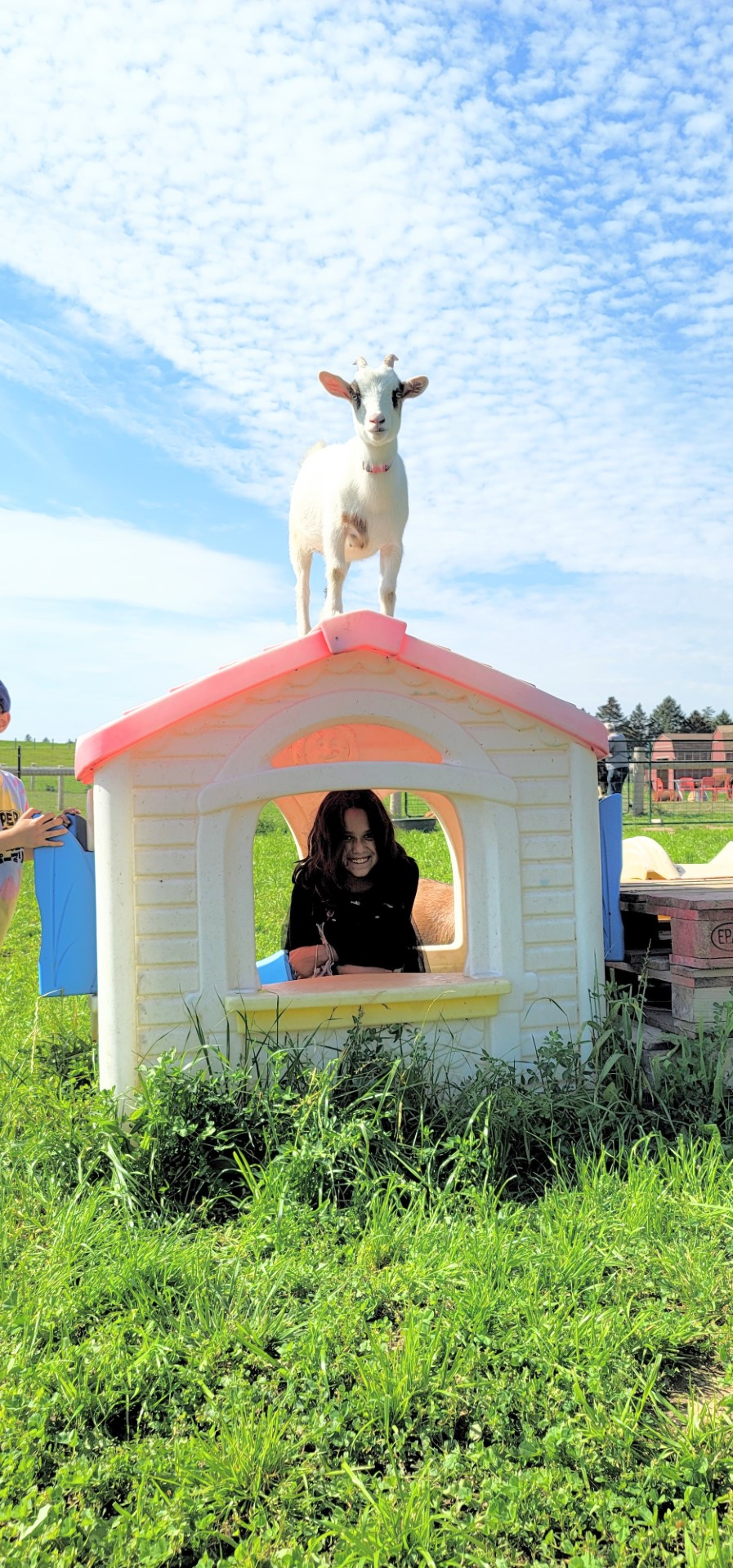 goat on house with little girl inside