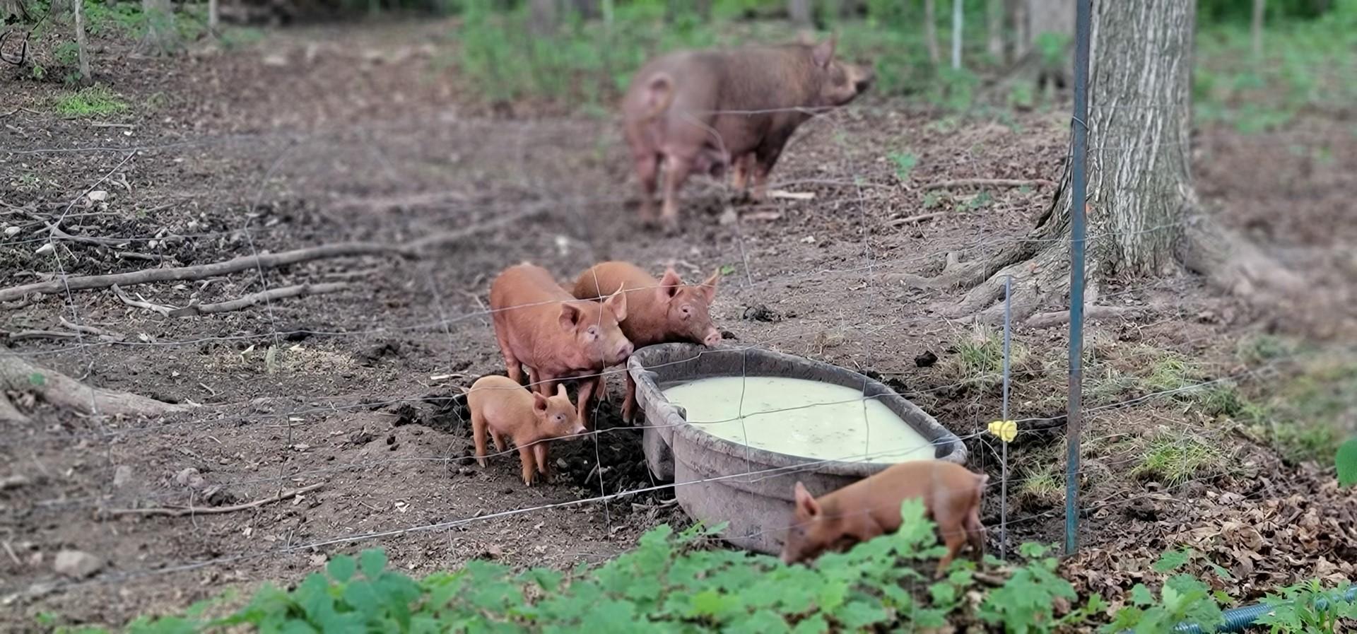 Baby pigs drinking whey milk