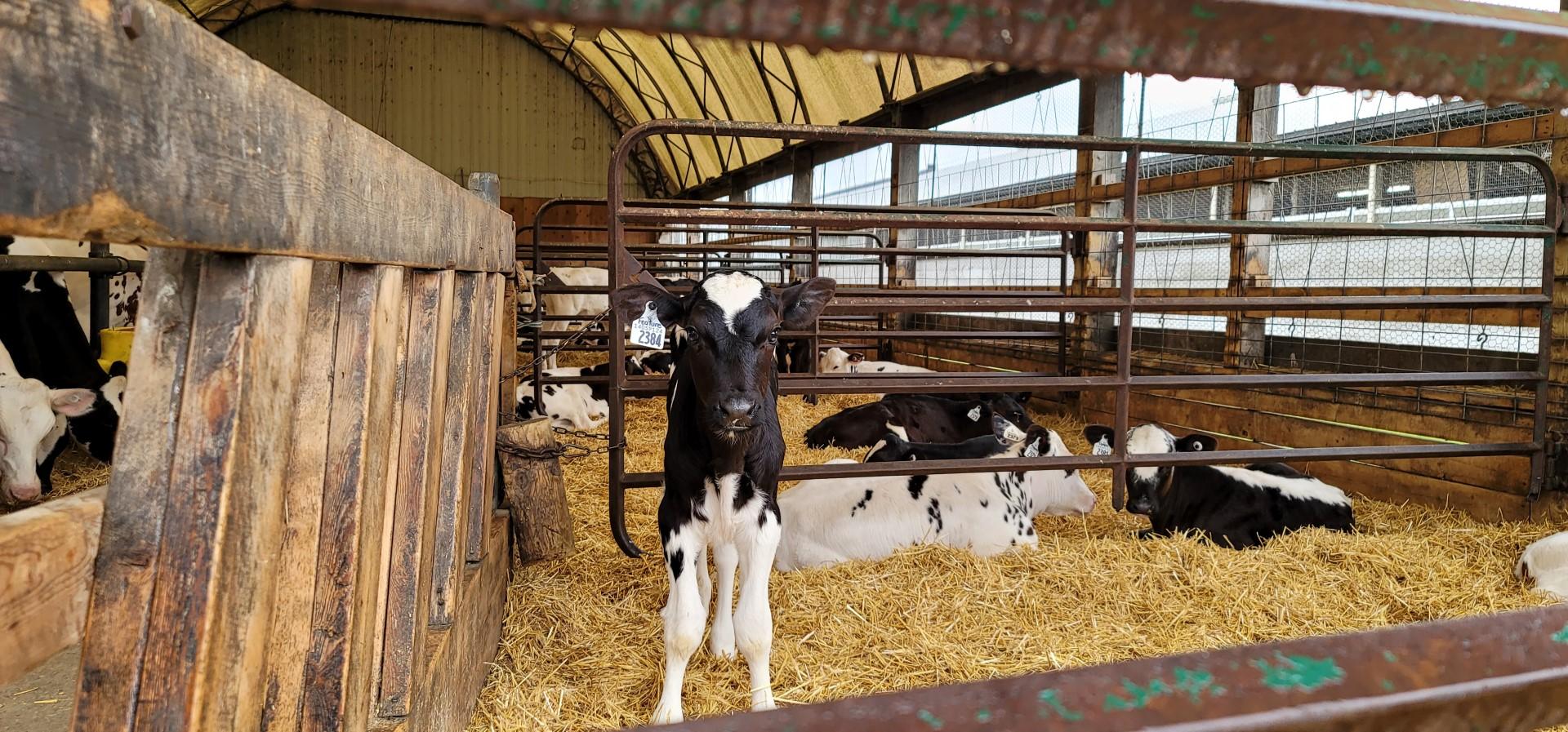 Cows at Mountain Oak Cheese Trail