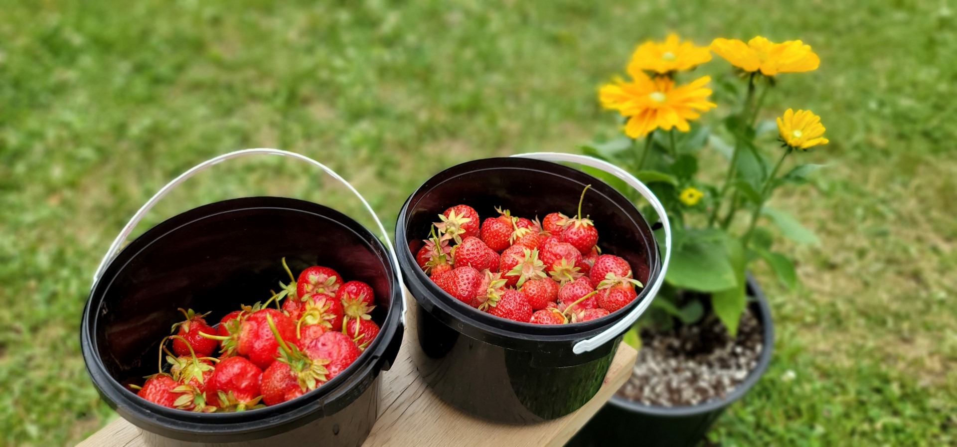 fresh hand picked bucket of strawberries in Ontario