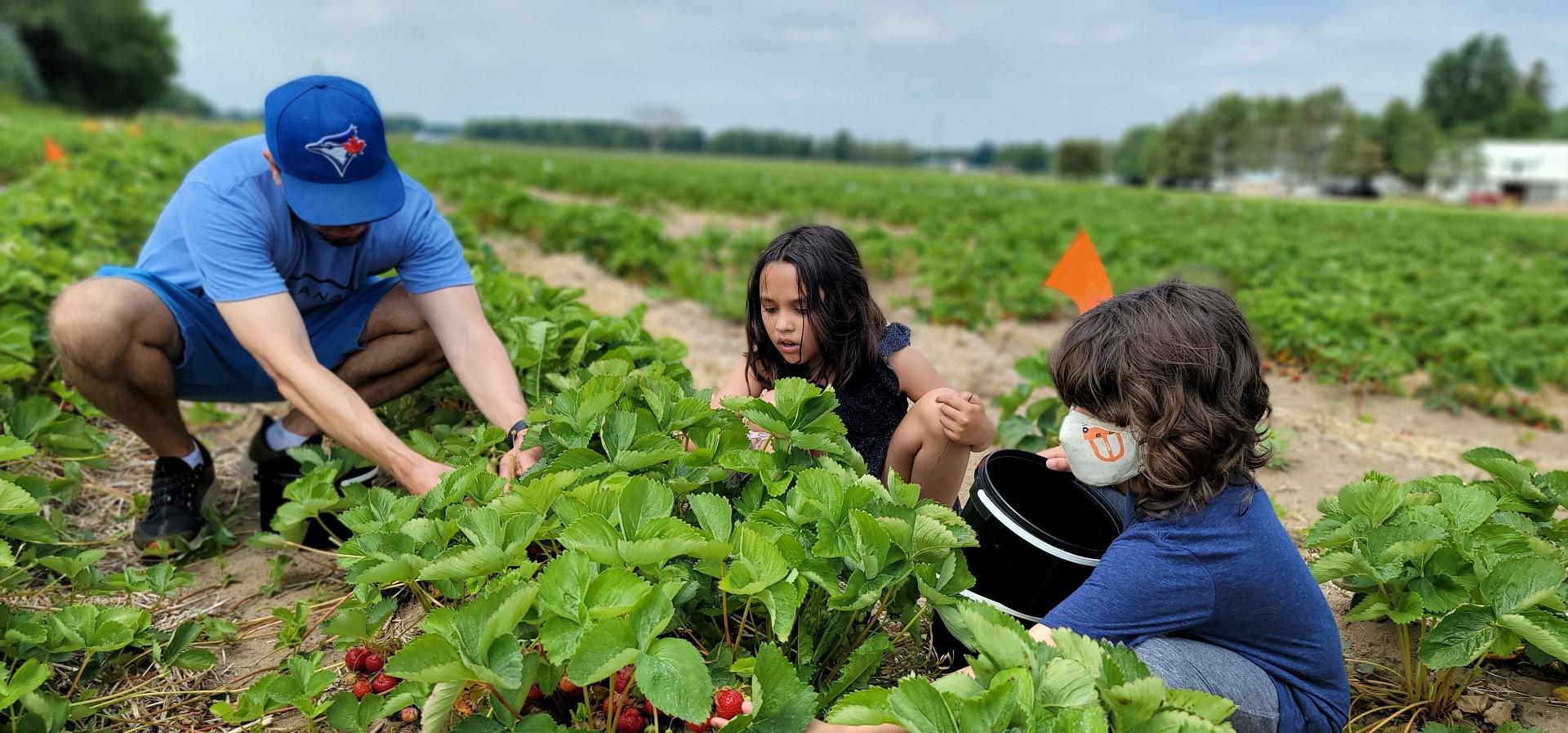 family picking strawberries