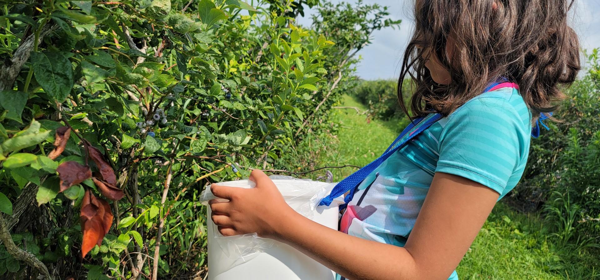 girl wearing white bucket picking blueberries