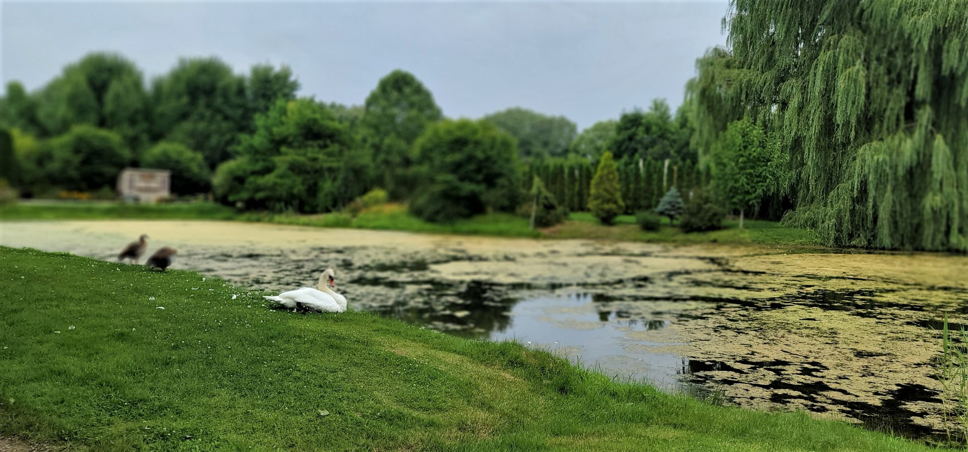 English swan in Ontario's whistling gardens