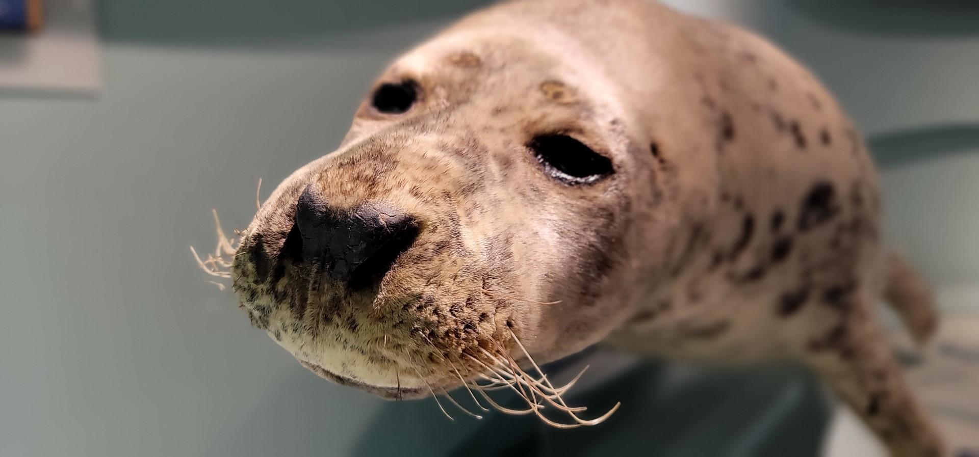 stuffed seal skin
